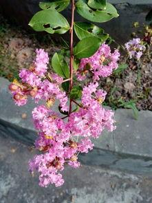 冬天没有叶子,夏天开图片这样的花,这种树叫什么名字