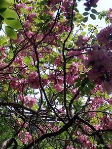 紫槐树的眼泪-绿色帽子,身穿紫色裙子的小姑娘在翩翩起舞,   近看,每一个花瓣像...