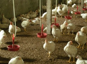 华南农业大学牵手美高校研究鸡肉食用安全