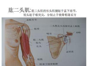 全身肌肉图解 学习解剖必备