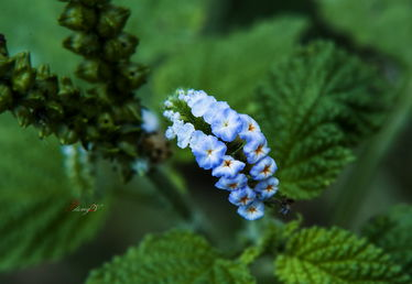 花上长小白飞虫是撒虫-花虫语 二