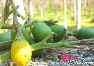 槟榔的养生妙用及生槟榔的吃法
