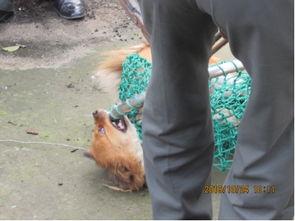 城管捕获流浪犬只-犬只伤人后逃跑 城管搜捕除隐患