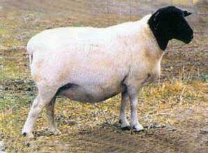 人与羊配种-人工辅助交配试情对牛羊后代的影响