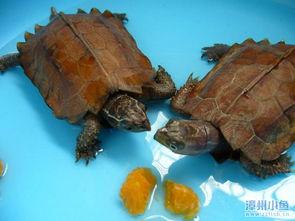 教大家认识几种漳州常见的龟种