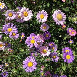 五色菊-历时三年,北工大实地亲拍,带你感受花间游走的幸福