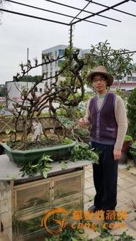 盆景收藏热 有人用古董换取金奖盆景
