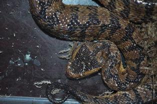 这条蛇究竟是谁,目前尚无定论.-云南野生动物园收容神秘毒蛇
