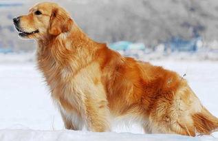 金毛犬多少钱一只