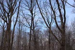 枝桠树梢,好像寻找昨日遗忘在这里的什么东西.   随着太阳的升起,...
