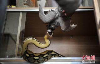...,从初中开始,一条眼镜蛇就住进了他家,发现自己不仅不怕蛇还非...
