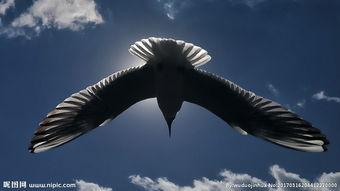 飞翔的老鹰图片