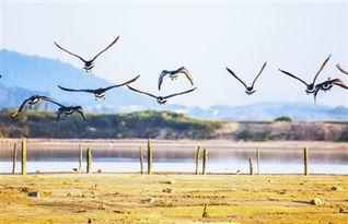 天鹅扎堆飞抵鄱阳湖越冬