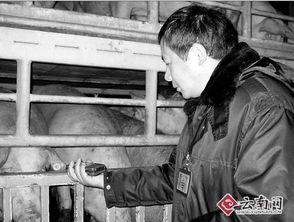 自愿被宰杀吃肉的许明梯小说-...员正在检查送入屠宰厂的猪-昆明市动物卫生监督所 猪肉无瘦肉精 可...