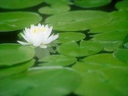 醉日观赏(五月十三日或八月八日).莲花于六月间盛开,最为美丽,...