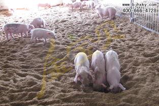怎样判断养猪发酵床制作成功