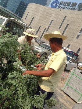 日起帝国无根之树-8月10日,长治路两侧绿化带都种起了国槐树,旁边工作人员正在修剪...