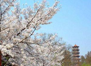 2018武汉大学樱花节花期在几月几号 仅13-20天左右都说武大樱花美...