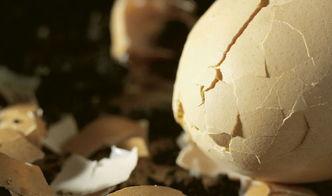 丰满肥熟农村老鸡-因为新鲜鸡蛋外表有一层保护膜,使蛋内水分不易挥发,并防止微生物...