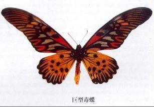 ...界上十大漂亮的蝴蝶 详情介绍