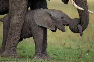 英国野生动物摄影展佳作 余辉下的非洲象群