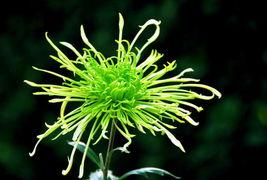 五色菊-五彩菊