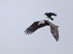 鹘入鸦群-...作 史上最大胆乌鸦骑雕飞行