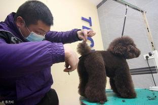 养泰迪需要注意什么 养泰迪犬基本知识