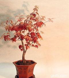 怎么制作日本红枫盆景