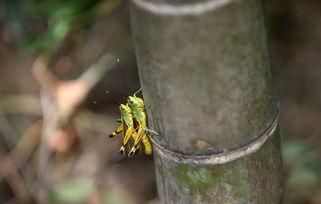 十三月的竹-...    摄 -高清组图 湖南多地因高温干旱暴发竹蝗灾害