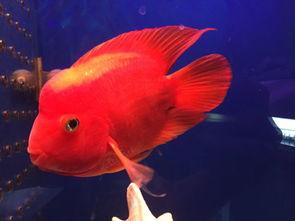 两条红财神鱼一直打架怎么办