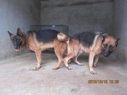 ...出售几条刚已交配完的德牧种母犬