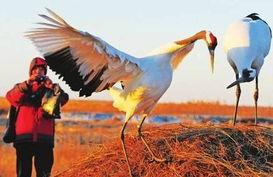 记者用长镜头拍摄了鹤爸爸环志的特写,并把照片寄给了相关的权威...