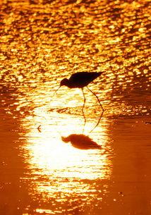 黄金鸟 野生雀鸟摄影大赛