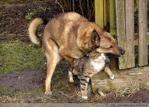 盘点暴力动物强奸犯 狗强行与猫交配 图