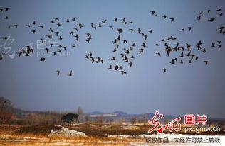 候鸟迁徙回到黑龙江兴凯湖