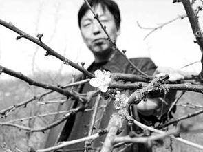 南山兵哥大长茎-房山区窦店镇杨先生家的文竹最长的一根茎有8米多,还开出了星星点...
