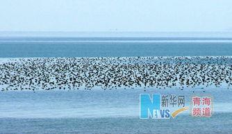 ...头鸭、大天鹅等候鸟齐聚青海湖东部泉湾附近的湖面-青海湖冬日万鸟...