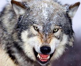 狼的眼神凶狠霸气   2. 而哈士奇却是这样的,正常的时候脸还行,犯蠢...