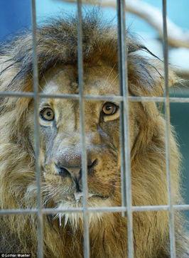 ...物园狮子遭投毒口吐白沫