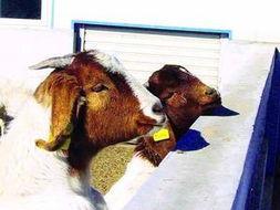 人与羊配种-...质种羊陆续抵京交配