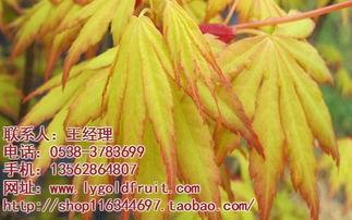 日本黄金枫 日本黄金枫盆景 日本黄金枫盆景批发