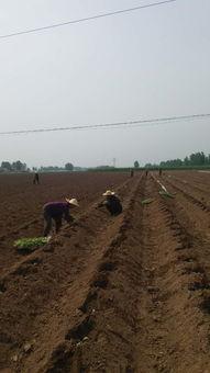 镇天珑-师灵镇组织烟农趁天抢时移栽烟苗  多人移栽烟苗.