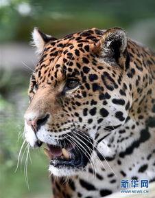博狗bf88-这是4月14日在法国圣艾尼昂博瓦尔动物园里拍摄的一头美洲豹.博瓦...