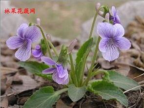 白毫,吃:晾干泡水,蒸巴拉子- ... 图片:   描述:龙葵(食紫色熟果...