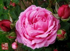 ...丛生,有茎刺.夏季4~5月开花,花单生或簇生于枝顶,花色紫红色...