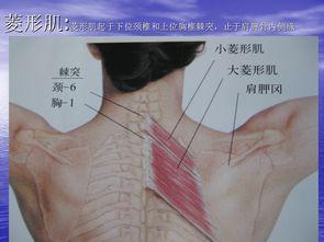 全身肌肉图解,学习针刀解剖必备