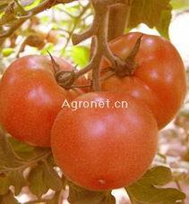 红蕃茄hk16-供应茸 红 番茄种子