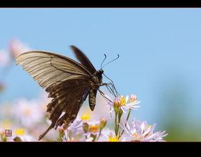 美丽的黑蝴蝶
