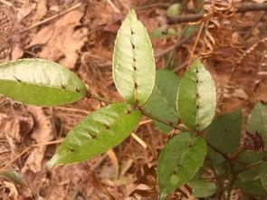 树长蚜虫了怎么办